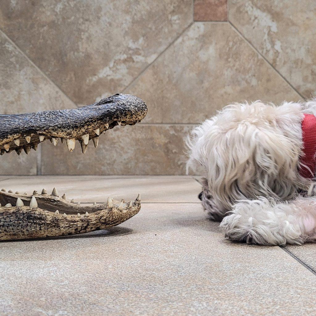 alligator-versus-cautious